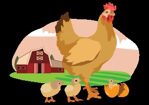 informations-avoir-poules