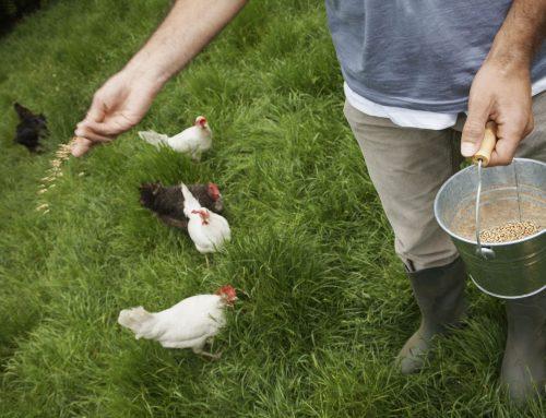 Comment nourrir vos poules ? Avec quels aliments ?